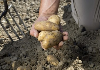 Cultivo local de patatas