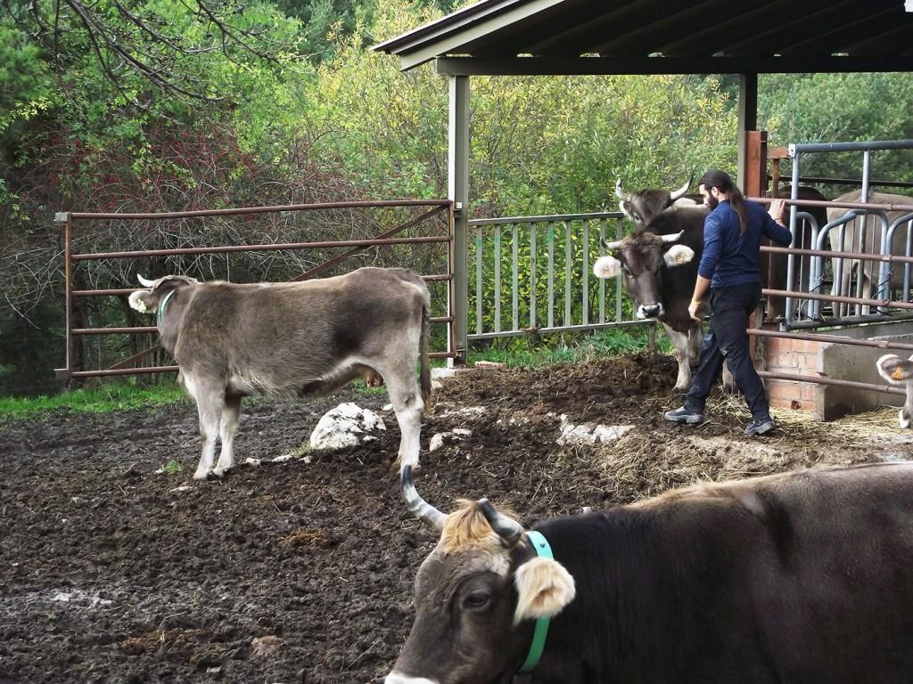 Joan, soltando a las vacas y terneros después de comer para que puedan ir a pastar por el campo