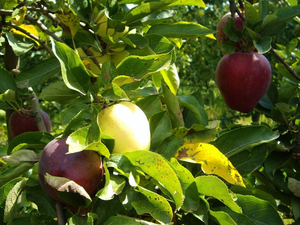 Manzanas de Begues. La superficie de esta finca destinada a manzanos es de media hectàrea y se obtienen 14.000 y 17.000 kilogramos por cosecha