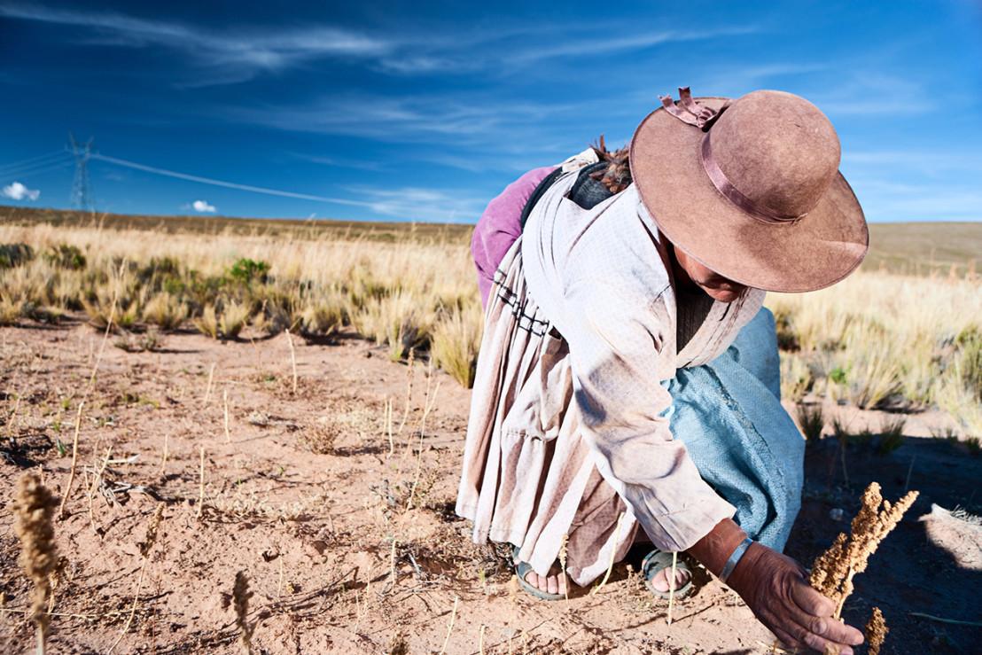 Bolivian woman collecting quinoa, Oruro, Bolivia