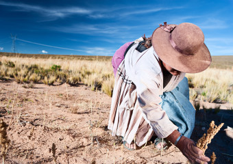 Bolivian woman collecting quinoa, Oruro, Bolivia