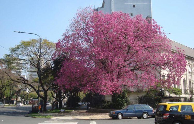 Árbol nativo: Lapacho rosado. En Avenida Figueroa Alcorta, Buenos Aires, Argentina